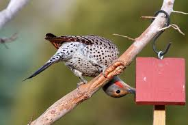 the great backyard bird count audubon rockies