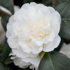 buy camellia camellia japonica u0027nobilissima u0027 delivery by crocus