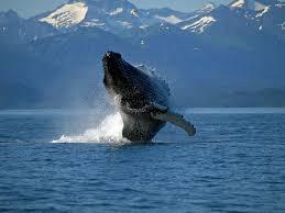 file humpback whale breaching jpg wikimedia commons