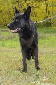 belgian sheepdog illinois buy german shepherd leather agitation harness chest padded