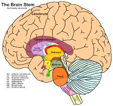 Gross Anatomy Of The Brain And Cranial Nerves Pdf Tayloredge Science