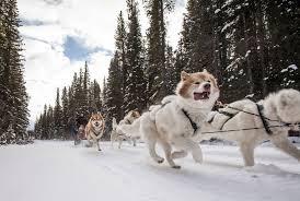dog sledding in banff national park banff u0026 lake louise tourism