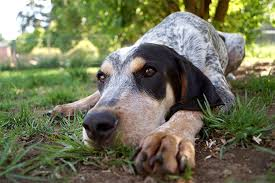 bluetick coonhound for sale in va bluetick coonhound dog breed information pictures