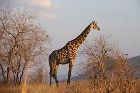 how did the giraffe get its improbable neck genetic analysis
