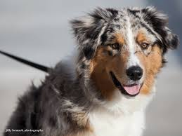 australian shepherd and beagle mix titus pet care articles