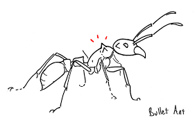 how to identify the bullet ant paraponera clavata