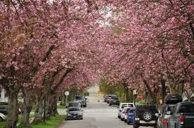 blooming now vancouver cherry blossom festival vancouver cherry