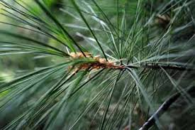 pine spruce or fir getting to michigan evergreen trees