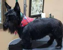 scottish yerrier haircuts dog groomers 45 years experience paws n pearls