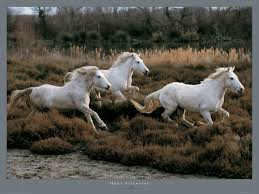 camargue white horse wallpapers photo poster camargue horses hans silvester