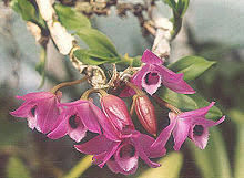 Dendrobium Orchid Dendrobium Wikipedia
