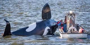 the week u0027s odd news fake orca nearly drowns before it can scare