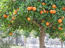 orange tree boutique design orange trees front