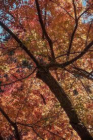fall colors pistachio trees 1 los altos ca fred mertz photography