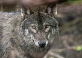why do wolves howl wolves do not howl at the moon