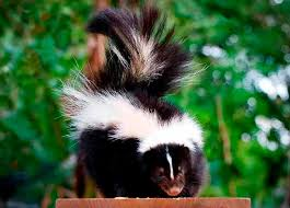 How Do You Get Rid Of Skunks In Your Backyard How To Get Rid Of Skunks A Comparative Review Of 2 Popular Skunk