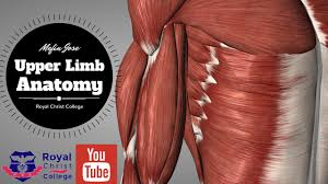 Interactive Muscle Anatomy Upper Limb Muscle Anatomy 3d Anatomy With Actions Of Muscles