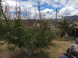 ipm information extends to apple and growers in guatemala
