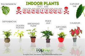 10 indoor plants that are poisonous and dangerous top 10 home