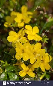 jasminum nudiflorum winter jasmine flower deciduous shrub november