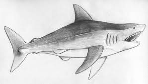 hand drawn pencil sketch of a shark stock illustration image