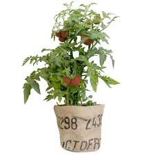 garden sack organic tomato u2013 modernsprout