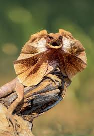what is native plants frill necked lizard is native to australia and new guinea