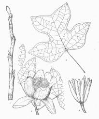 tulip tree definition etymology and usage examples and related