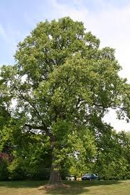 plants native to massachusetts liriodendron tulipifera wikipedia