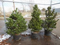 trees that please nursery why not plant a living christmas tree