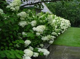 i love hydrangeas so much i think i might try a hedge like this in