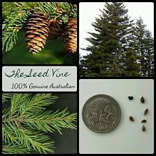 10 spruce seeds picea rubens conifer evergreen bonsai