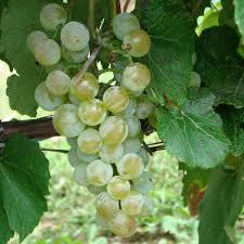 buy lorelei grape vines for sale double a vineyards