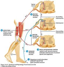 Knee Reflex Arc Proprioception And Types Of Reflexes Health Movement Posture