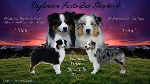 australian shepherd x corgi kingcrest and kiralycrest home