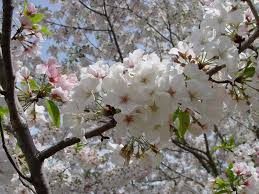 ornamental cherry tree varieties pictures reference