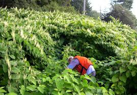 escape of the invasives top six invasive plant species in the mechanical methods to contain and eradicate japanese knotweed