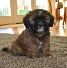 shichons haircut lillybits shichon puppies