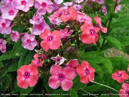 phlox flower phlox paniculata8c jpg