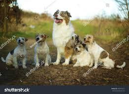 running with australian shepherd puppy fun australian shepherd dog border collie stock photo 346719572