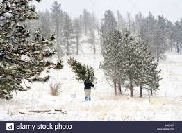 cutting down a christmas tree in the colorado woods stock photo