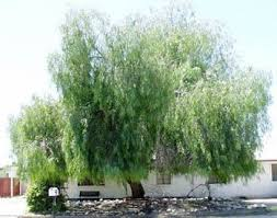69 best drought resistant trees images on garden