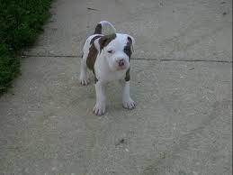 american pitbull terrier natural ears american pit bull terrier breed info u0026 pictures petmd