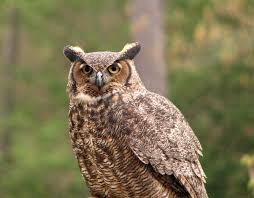 owl free stock photo close up of a great horned owl 4584