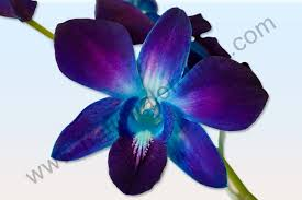blue dendrobium orchids orchids from thailand national orchids inc