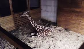 giraffe giving birth live streaming april animal