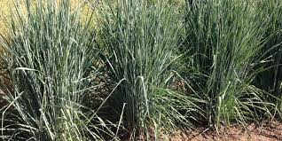 ornamental grasses for fall planting the high country gardens