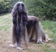 weimaraner vs afghan hound afghan hound fun animals wiki videos pictures stories