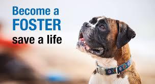 boxer dog rescue houston boxer rescue