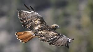 birds of prey grand canyon national park u s national park